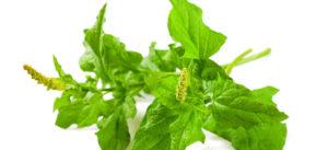 Come cucinare gli spinaci selvatici